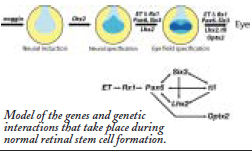 model os the genes and genetic